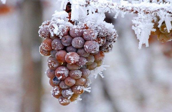 ice-wine-frozen-grape-cluster-courtesy-Niagara-Wine-Trail-US