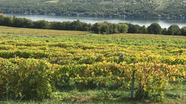 a view of grape vines with one of the Finger Lakes in the background