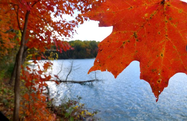 a red maple leaf and maple tree in front of a lake