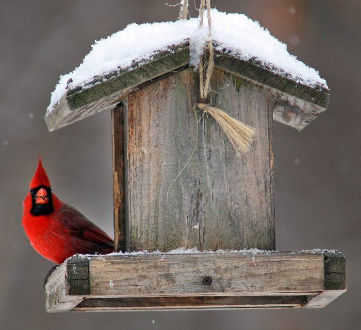 Male Cardinal at Beaver Lake Nature Center.
