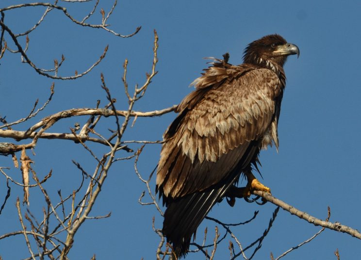 A juvenile American bald eagle perched in a tree at Montezuma National Wildlife Refuge.