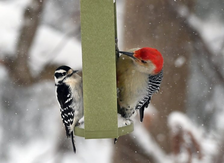 A downy woodpecker (left) and a red bellied woodpecker at a feeder at Beaver Lake Nature Center.