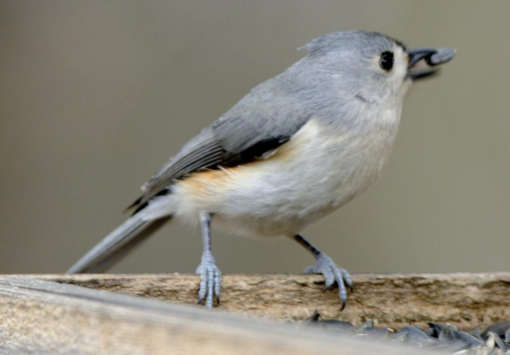 A tufted titmouse feeds at Beaver Lake Nature Center.