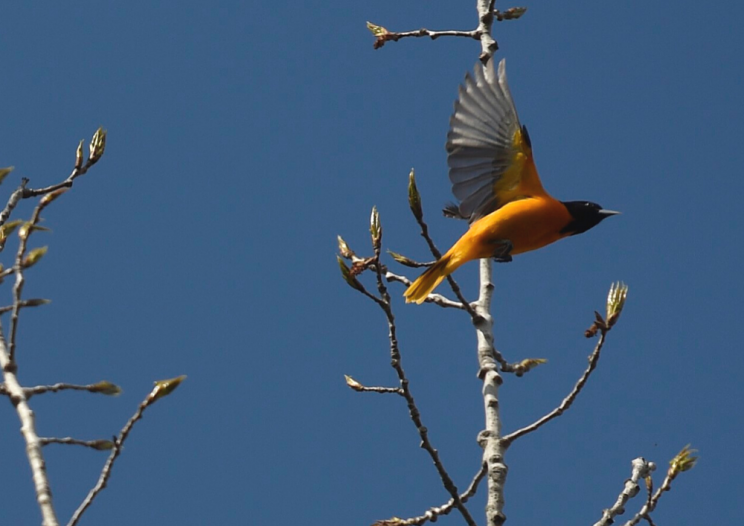 An oriole begins to fly off a tree branch.