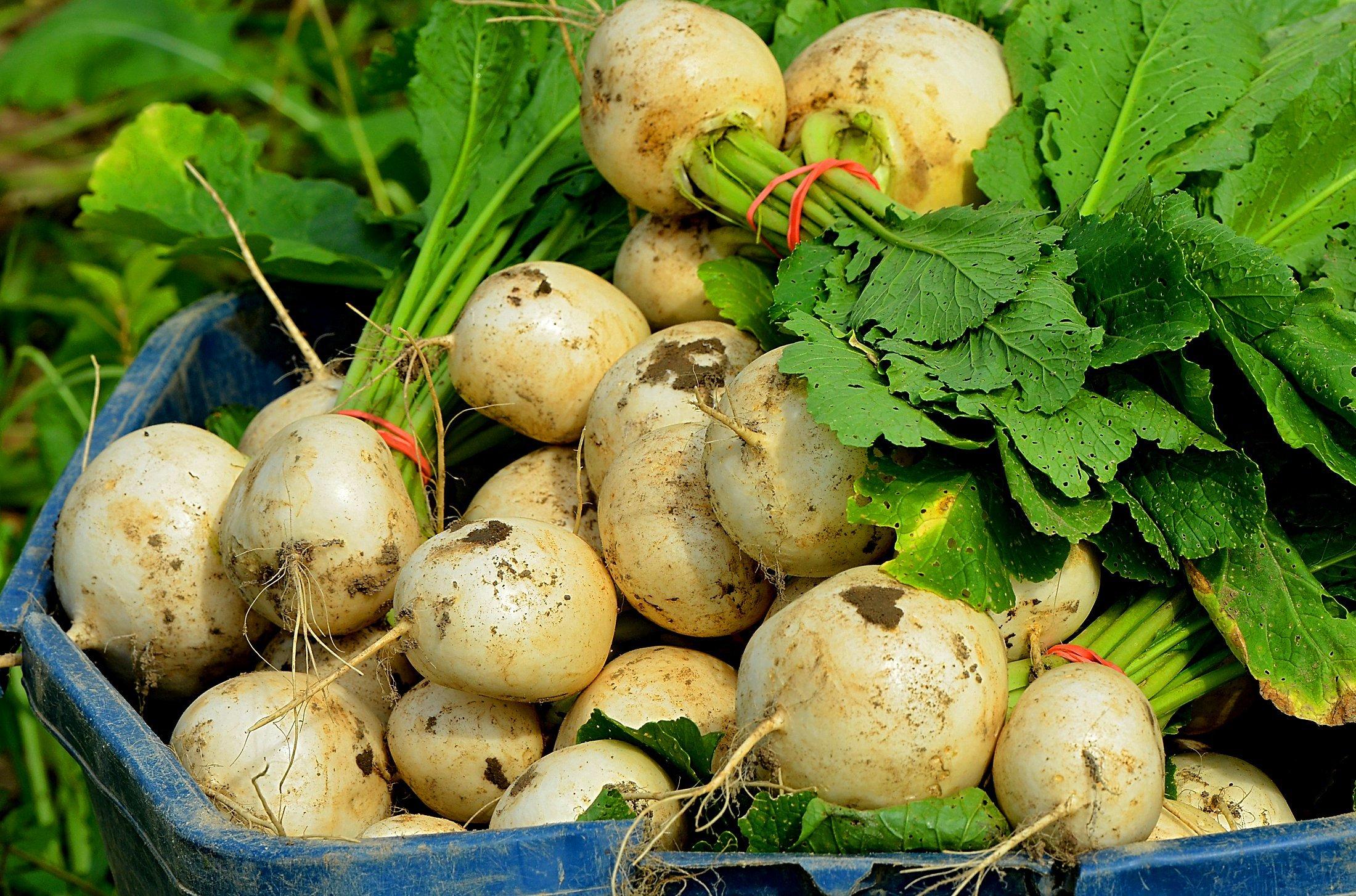 Turnips at Early Morning Farms, an organic Farm in Genoa.